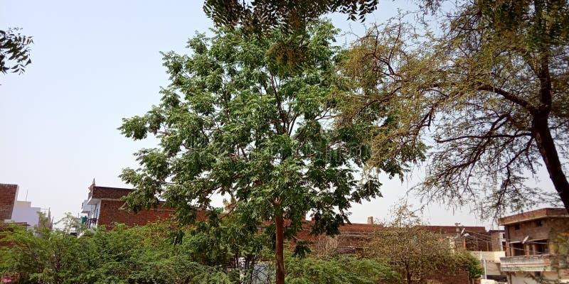 Красивое зеленое neem дерева стоковые изображения rf