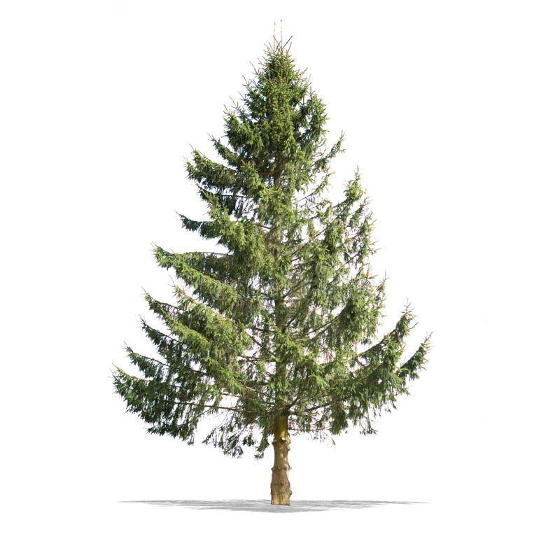 Красивое зеленое дерево на белой предпосылке в высоком определении стоковое фото