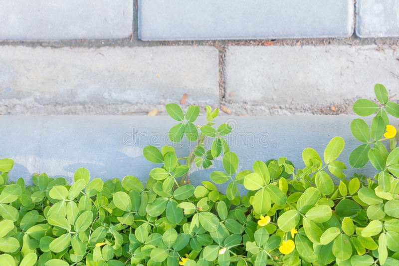 Красивое зеленое растение над стенами в саде стоковое изображение rf