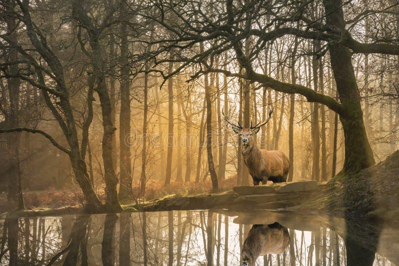 Красивое изображение ландшафта неподвижного потока в лесе района озера с красивым зрелым Cervus Elaphus рогача красных оленей сре стоковые изображения rf