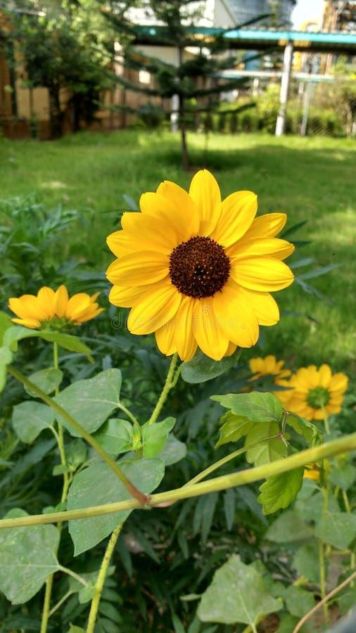 Красивое изображение солнцецвета стоковое изображение