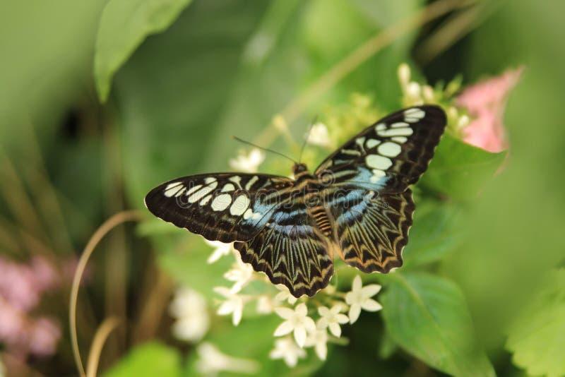 Красивое изображение Parthenos sylvia, бабочки клипера стоковая фотография