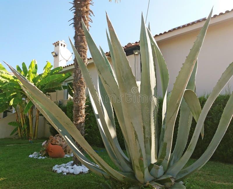 Красивое и большое Agava растя в Греции стоковые изображения rf