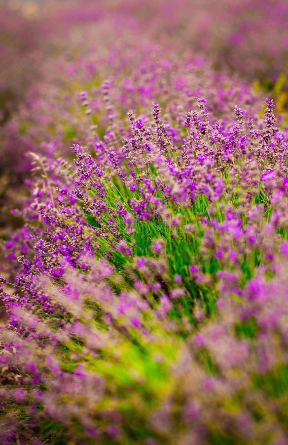 Красивое и красочное фиолетовое поле lavander Lavander ароматерапии стоковое фото rf