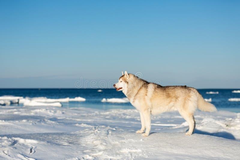 Красивое и свободное сибирское сиплое положение собаки на ледяном поле на замороженной предпосылке моря Охотска стоковое фото