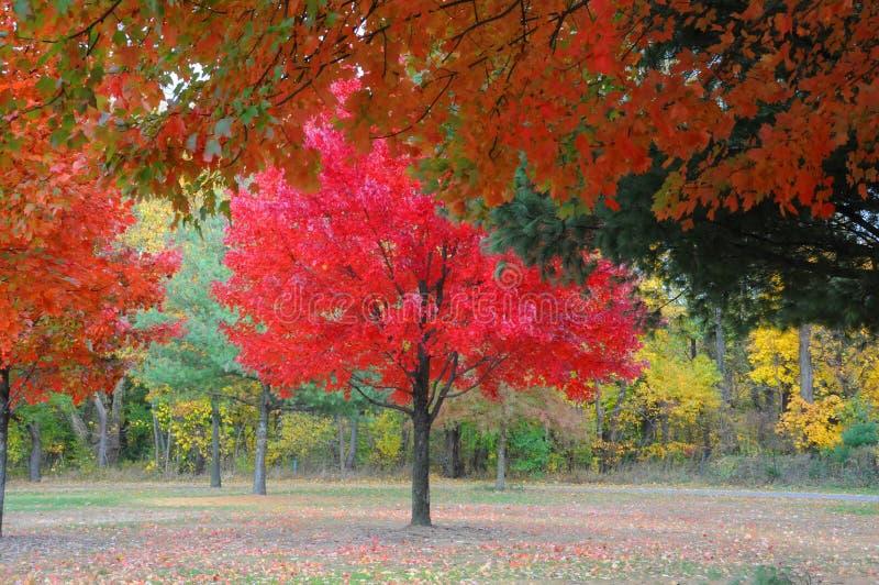 Красивое красно-leaved дерево стоковое изображение rf