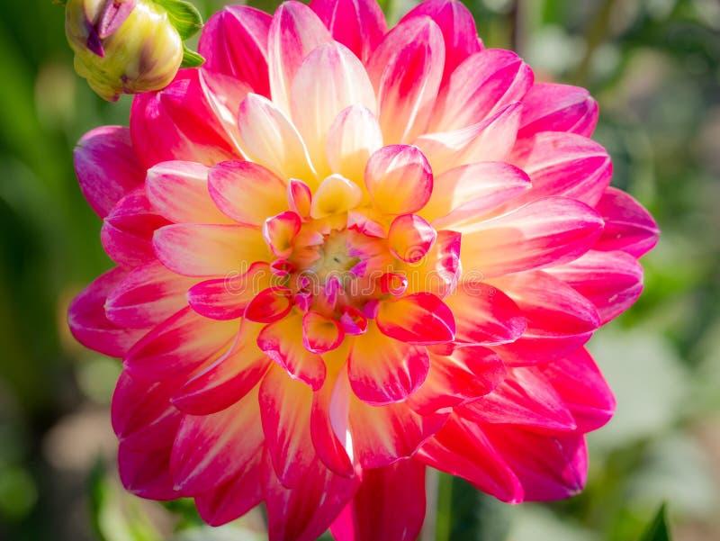 Красивое красочное цветение георгины на солнечный день стоковая фотография