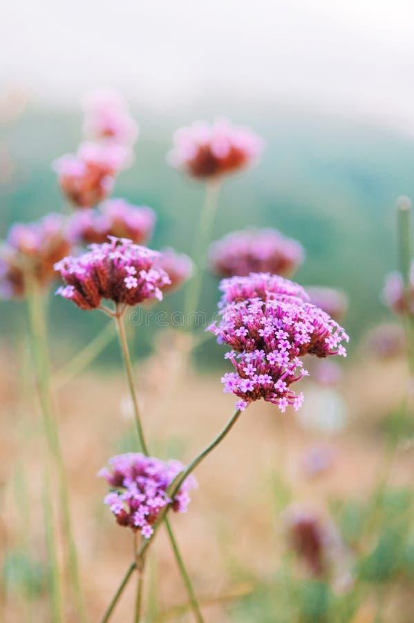 Красивое крошечное розовое фиолетовое зацветая bonariensis вербены с голубым стоковое фото rf