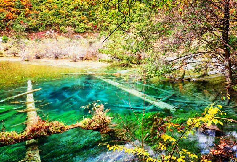 Красивое лазурное озеро с погруженными в воду стволами дерева в лесе осени стоковое фото