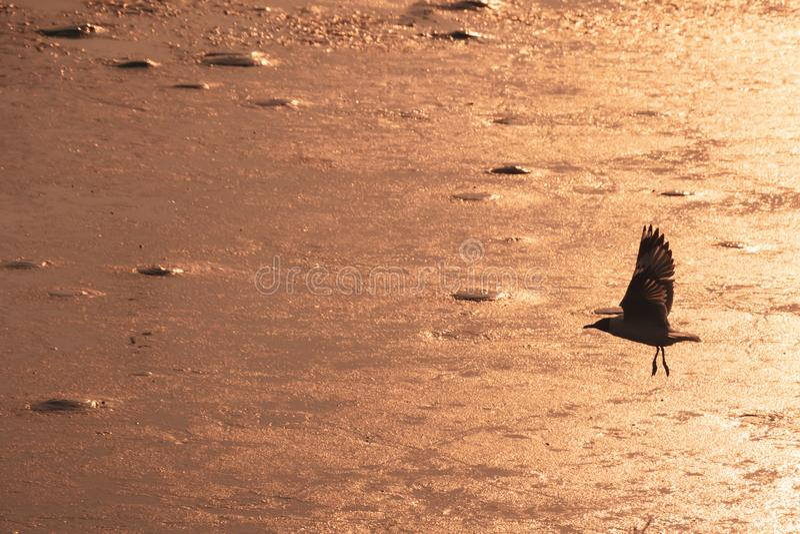 Красивое летание чайки над морем в предпосылке захода солнца Силуэт ч стоковое изображение