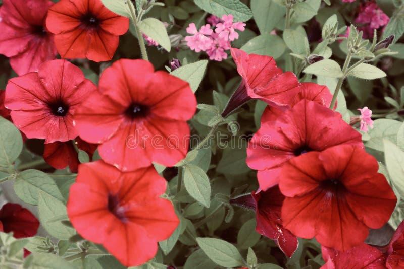 Красивое море красных тропических цветков с концом предпосылки вверх по полевому цветку цветка зацветая стоковые фотографии rf