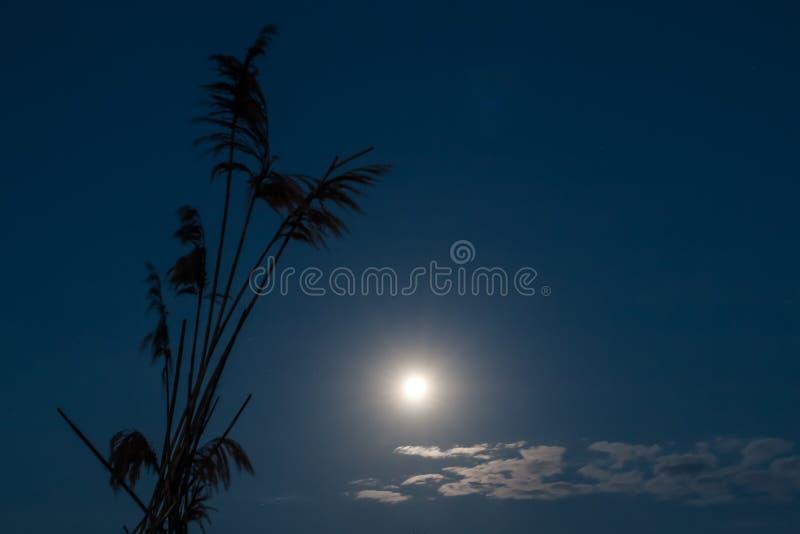 Красивое молчаливое ночное небо полнолуния около камышового силуэта стоковые фото