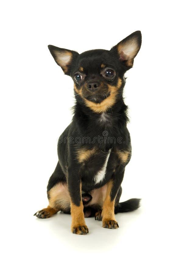 Download Красивое мужское усаживание собаки чихуахуа Стоковое Фото - изображение насчитывающей мило, немного: 37929364
