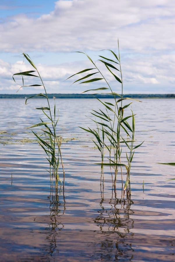 Красивое озеро лета, тростники на переднем плане, на предпосылке леса и неба Вертикальное изображение стоковая фотография