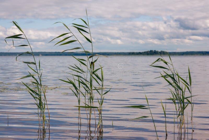 Красивое озеро лета, тростники на переднем плане, на предпосылке леса и неба стоковая фотография rf
