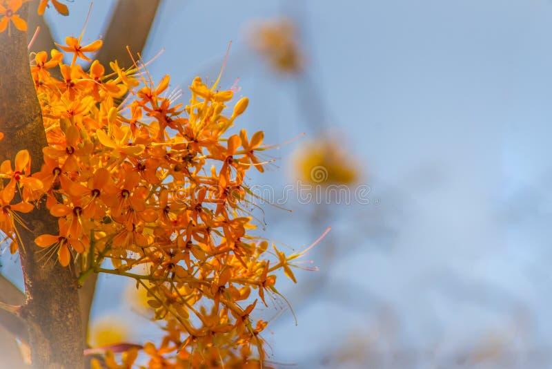 Красивое оранжевое дерево asoka цветет (Saraca indica) на дереве с зеленой предпосылкой листьев Saraca indica, alsoknown как asok стоковое фото rf