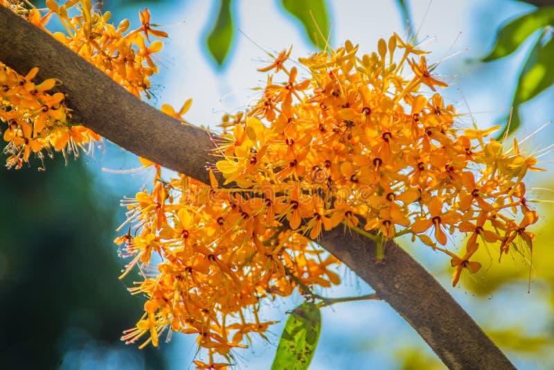 Красивое оранжевое дерево asoka цветет (Saraca indica) на дереве с зеленой предпосылкой листьев Saraca indica, alsoknown как asok стоковая фотография rf