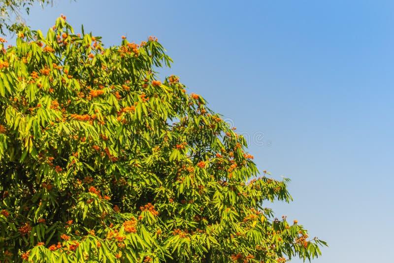 Красивое оранжевое дерево asoka цветет (Saraca indica) на дереве с зеленой предпосылкой листьев Saraca indica, alsoknown как asok стоковые фото