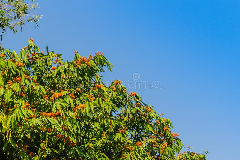 Красивое оранжевое дерево asoka цветет (Saraca indica) на дереве с зеленой предпосылкой листьев Saraca indica, alsoknown как asok стоковая фотография