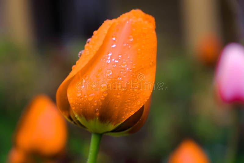 Красивое оrangetulip в дождевых каплях стоковые фотографии rf