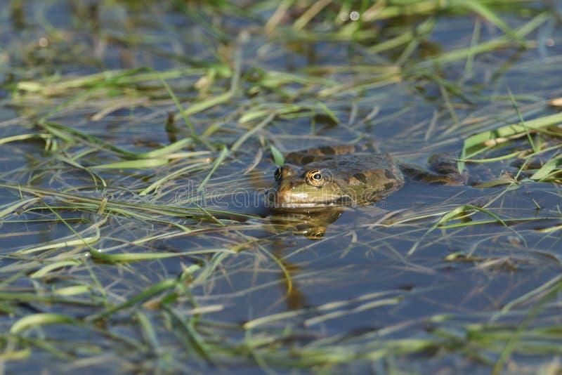 Красивое плавание лягушки болота в болотистом бассейне в Великобритании стоковое фото
