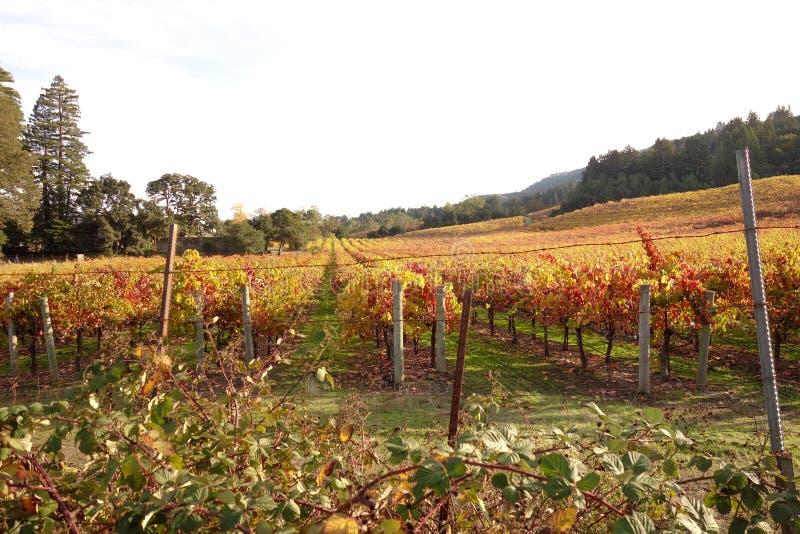 Красивое поле виноградника в долине Sonoma, Калифорнии стоковые фотографии rf