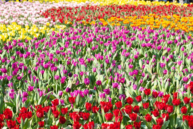 Красивое поле дисплея тюльпанов стоковые фотографии rf