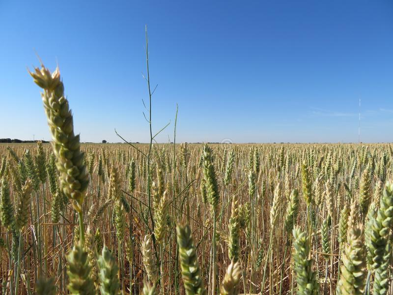 Красивое поле зерна с большими шипами интенсивного цвета стоковое изображение