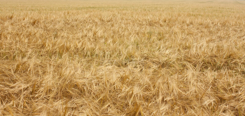 Красивое поле зрелого золотого ячменя Сельский ландшафт поля под ярким солнечным светом стоковое изображение