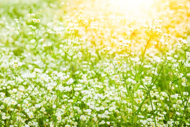 Красивое поле маргариток на природе в предпосылке парка стоковые изображения