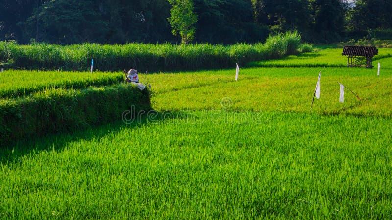 Красивое поле риса солнечности утра стоковые фотографии rf