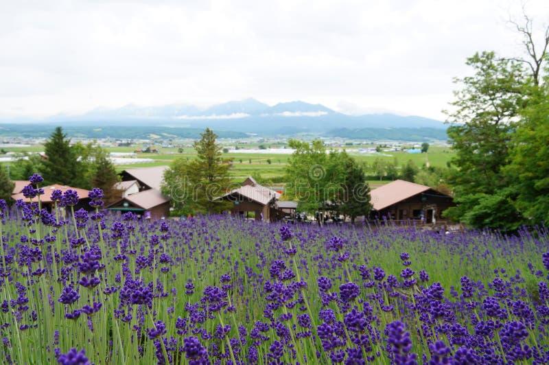 Красивое поле лаванды на Furano стоковое фото rf
