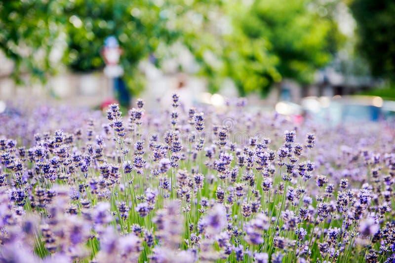 Красивое поле лаванды с городом лаванды в предпосылке стоковая фотография