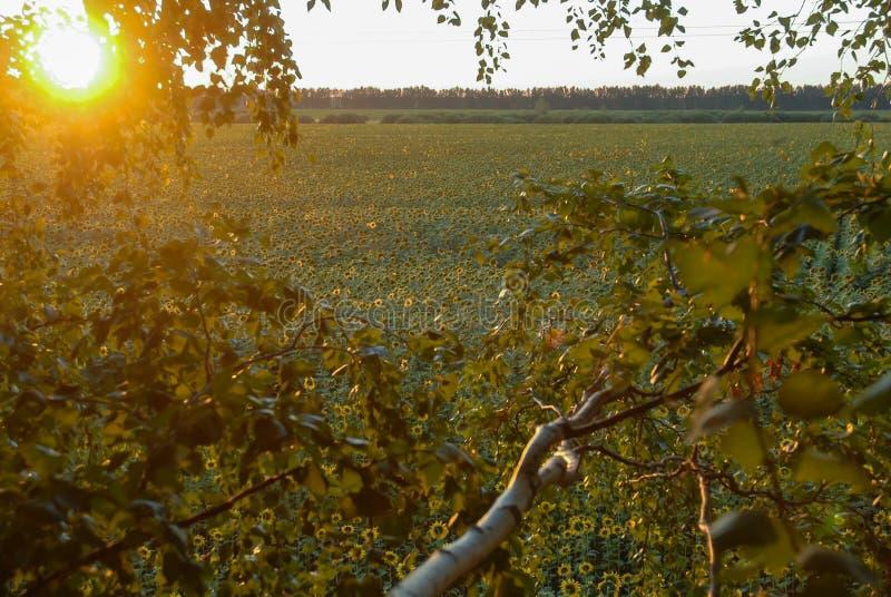 Красивое поле солнцецвета в свете захода солнца солнца стоковое фото rf