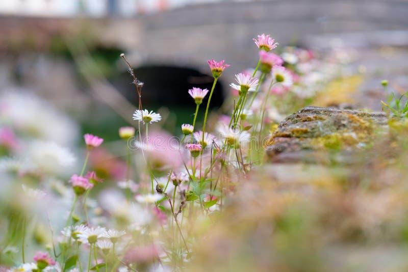 Красивое поле цветков на Брюгге, весенний сезон стоковое фото rf