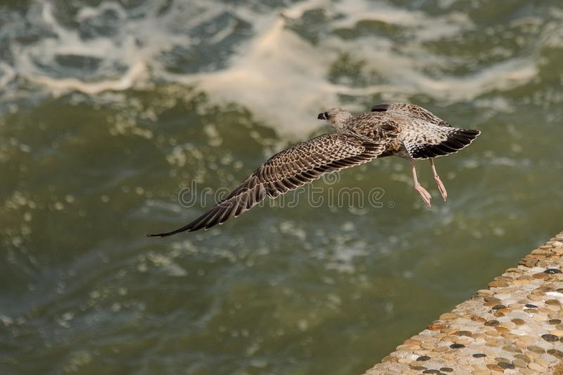 Красивое прикаспийское летание чайки над зеленым покрашенным морем стоковые изображения
