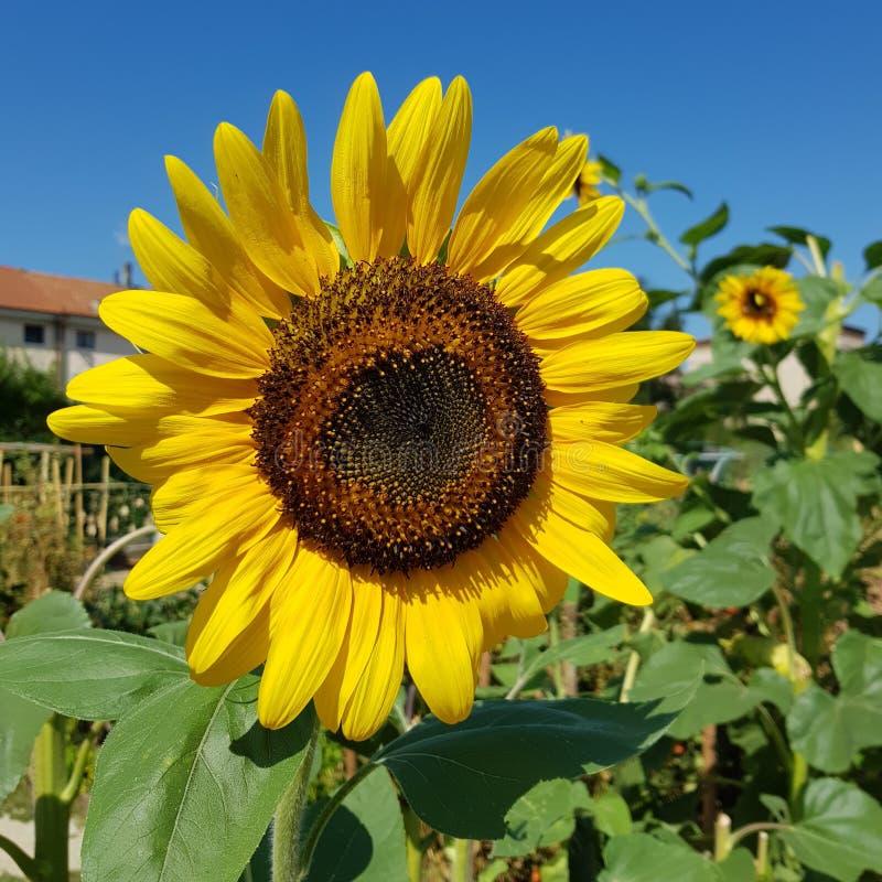 Красивое природы солнцецвета Salvetti нагое стоковые фотографии rf