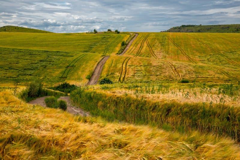 Красивое пшеничное поле в ветреной погоде r стоковая фотография