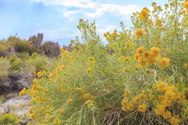 Красивое резиновое цветение цветка желтого цвета rabbitbrush в лете стоковые изображения rf