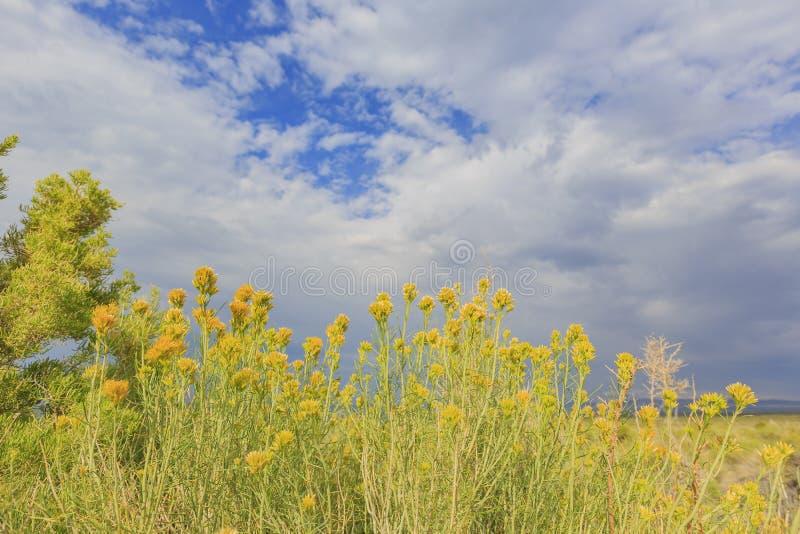 Красивое резиновое цветение цветка желтого цвета rabbitbrush в лете стоковое изображение rf