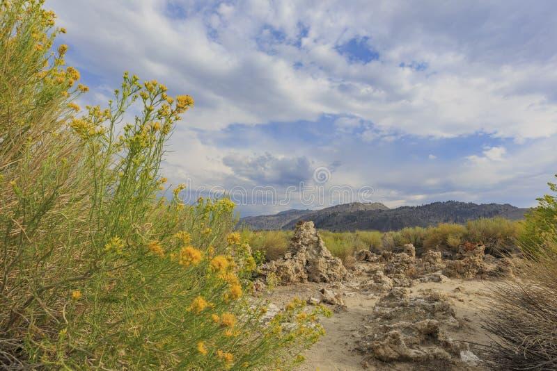 Красивое резиновое цветение цветка желтого цвета rabbitbrush в лете стоковые фотографии rf