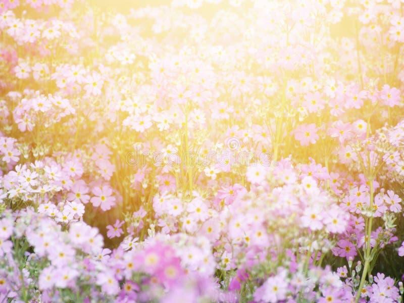 Красивое розовое поле цветка под солнечным светом в утре стоковая фотография