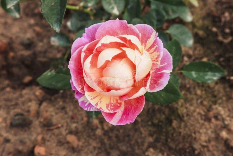 Красивое розовое цветене на valantine стоковые изображения rf