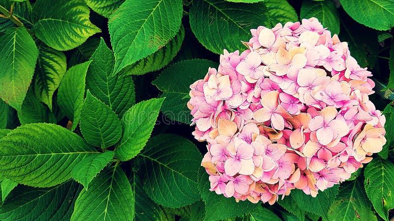 Красивое розовое HortensiaHydrangea стоковое фото rf