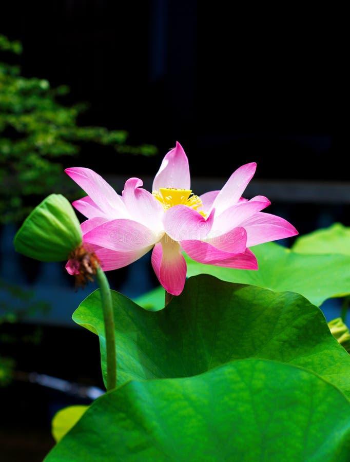 Красивое розовое lotusin лес стоковое фото rf