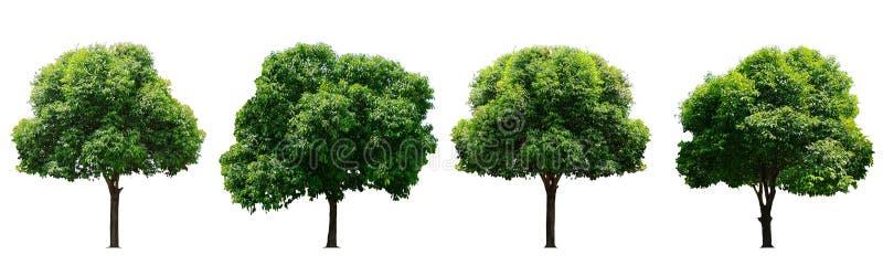 Красивое свежее зеленое лиственное дерево изолированное на чистой белой предпосылке для графика, собрание деревьев стоковое изображение