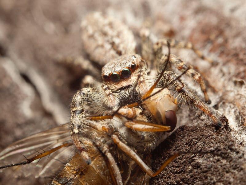 Красивое скача muscosa Marpissa паука с уловленной мухой стоковая фотография