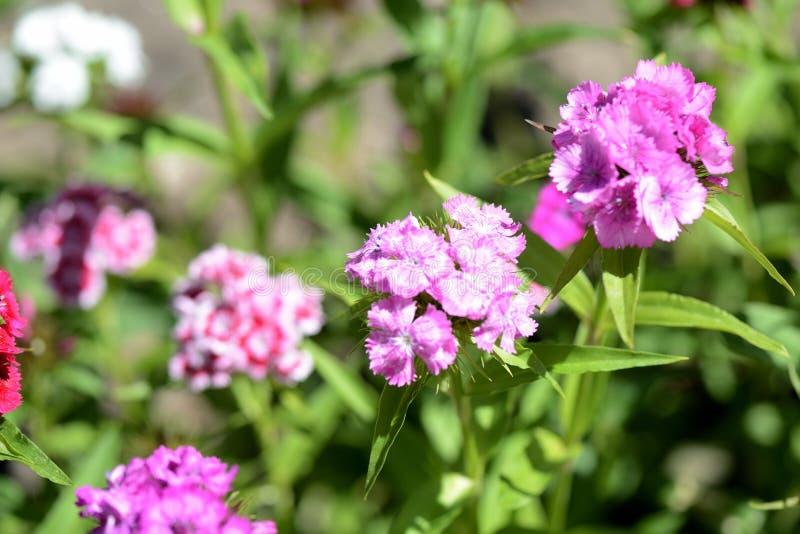 Красивое сладкое barbatus гвоздики цветков Вильгельма в саде стоковые изображения rf