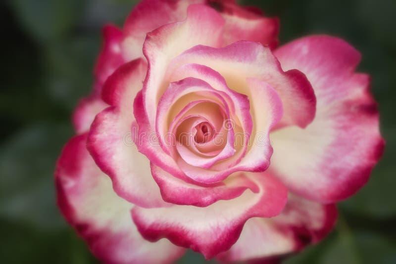 Красивое сметанообразное розовое цветение с красным макросом краев стоковая фотография rf