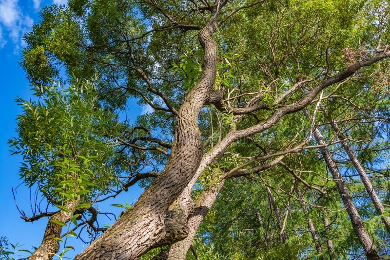 Красивое старое фантастическое branchy дерево вербы с зеленым цветом выходит в парк в лете против предпосылки голубого неба стоковые фото
